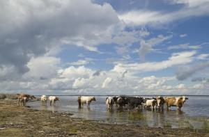 Коровы на Амуре - копия.JPG
