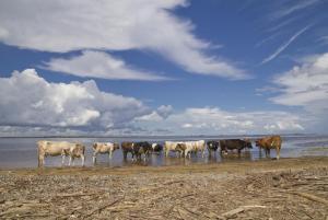 Коровы и Амур - копия.JPG