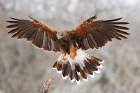Harris's-Hawk-flared-landing-_J7X0773-Las-Colmenas-Ranch,-Edinburg,-TX.jpg